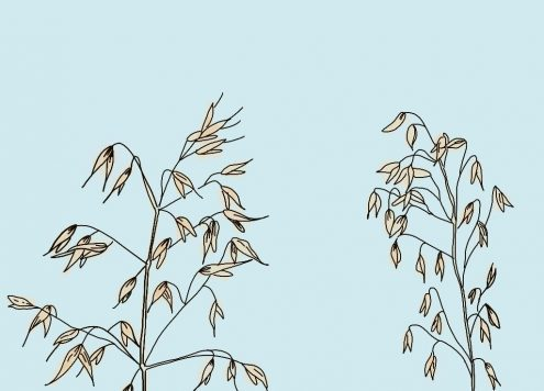 verival-hafer-superfood-gesund