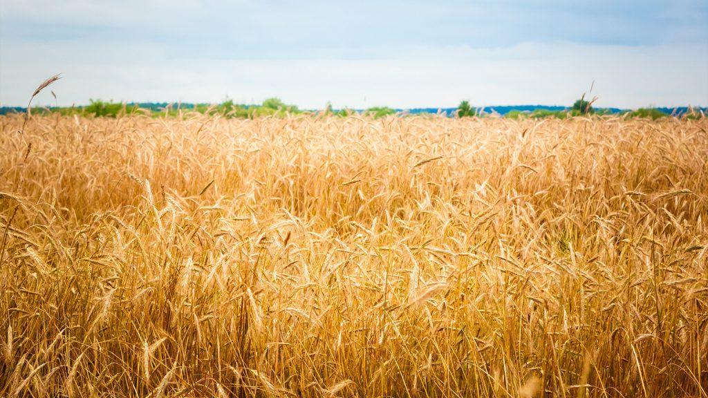 Hafer wird aus dem Korn der Saathafers gewonnen.