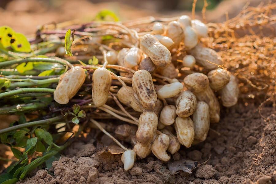 Coltivazione di arachidi