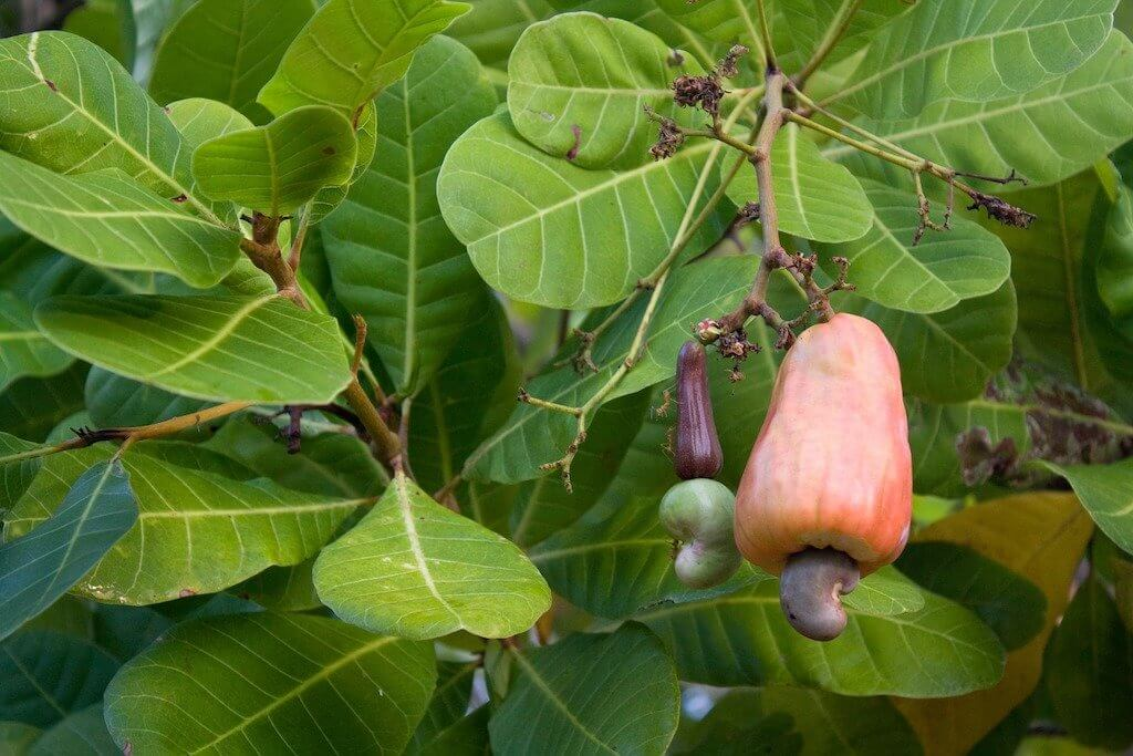 Anacardio in albero