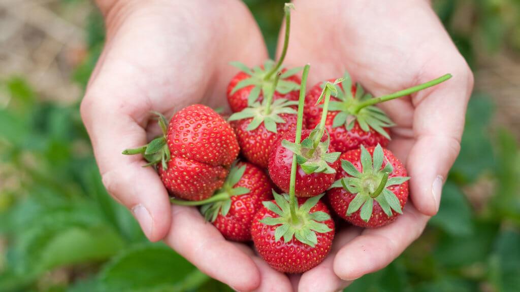gesunden Eigenschaften der Erdbeere