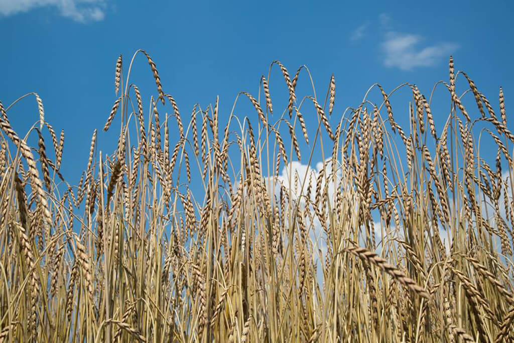 Cereali Urkorn Wheat