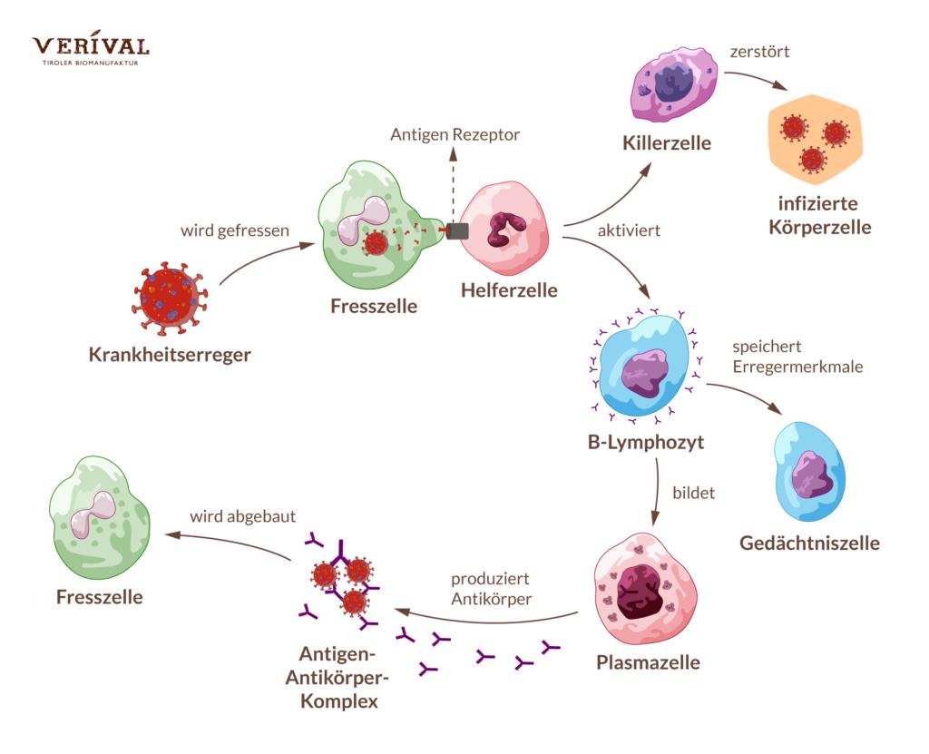 Il sistema immunitario combatte il patogeno per sbarazzarsi del virus o batterio il più rapidamente possibile