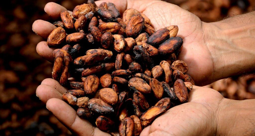 The raw cocoa beans